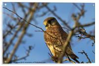 Kestrel in the wild (Falco tinnulculus), Acrylic Print