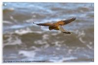 Kestrel hovering (Falco tinnulculus), Acrylic Print