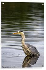 Grey Heron fishing, Acrylic Print