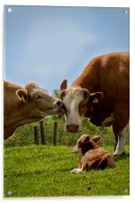 Kissin cows, Acrylic Print