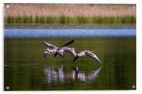Greylags in flight, Acrylic Print