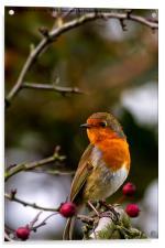 Robin red breast, Acrylic Print