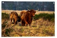 Highland cow and her calf, Acrylic Print