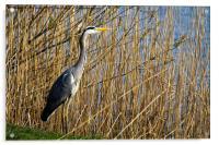 Grey Heron amongst the reeds, Acrylic Print