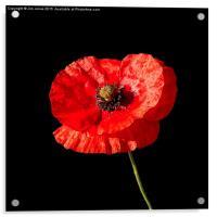 Poppy , Acrylic Print