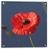 Blood Red Poppy, Acrylic Print