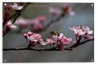 Bee, blossom and promise of spring, Acrylic Print