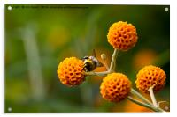 Busy bee on buddleia, Acrylic Print