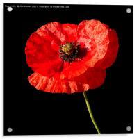 Remembrance Poppy, Acrylic Print