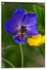 Cranesbill, Buttercup and Hoverfly, Acrylic Print