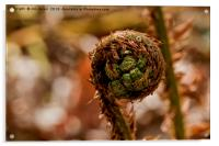 Coiled fern frond, Acrylic Print