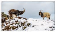 Welsh Mountain Goats, Acrylic Print