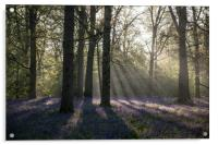 Dawn in the bluebell woods 1, Acrylic Print