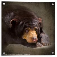 Sad Sun Bear, Acrylic Print