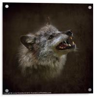 Big Bad Wolf, Acrylic Print