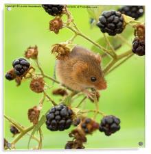 Harvest mouse on a blackberry stem, Acrylic Print