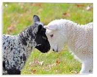 Black and white Lambs, Acrylic Print