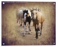 American Quarter Horse Herd, Acrylic Print