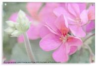 Pink Geraniums, Acrylic Print