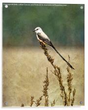 Scissor-tailed Flycatcher, Acrylic Print
