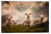 Lambs, Acrylic Print