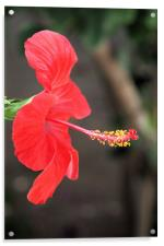 Red flower 2, Acrylic Print