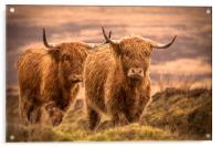 Highland Cattle, Acrylic Print