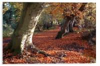 Coltishall, Norfolk, Beech Trees, Autumn, Acrylic Print