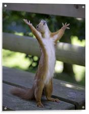 Red Squirrel praying, Acrylic Print