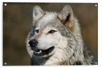 Grey Wolf, Acrylic Print