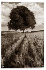 Barley Field & Oak Tree,Somerset, Acrylic Print