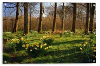 Graves Park Daffodils, Sheffield, Acrylic Print