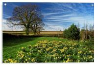 Daffodils at Snowden Heights                      , Acrylic Print