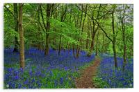 Woolley Wood  Bluebells                           , Acrylic Print