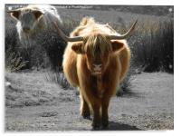 highland cow faceoff, Acrylic Print