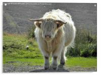 highland cow face off 2, Acrylic Print