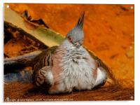 The Crested Pigeon, Acrylic Print