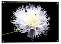 White Wildflower, Acrylic Print