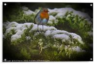 Winter Robin, Acrylic Print