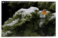 Robin in the winter, Acrylic Print