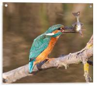 Kingfisher / Perch, Acrylic Print