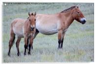 Przewalski's Horses, Mongolia, Acrylic Print