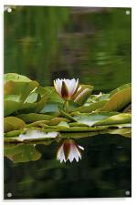 Water Lily reflection, Acrylic Print