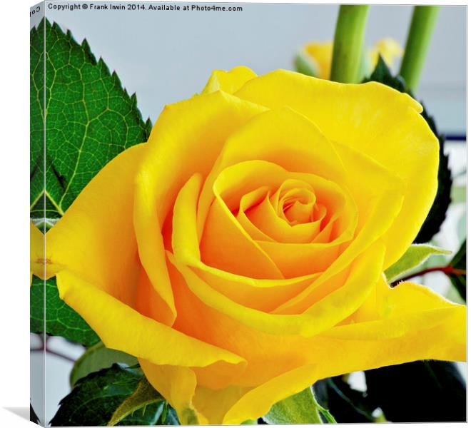 Yellow Hybrid Tea rose in all its glory Canvas print by Frank Irwin