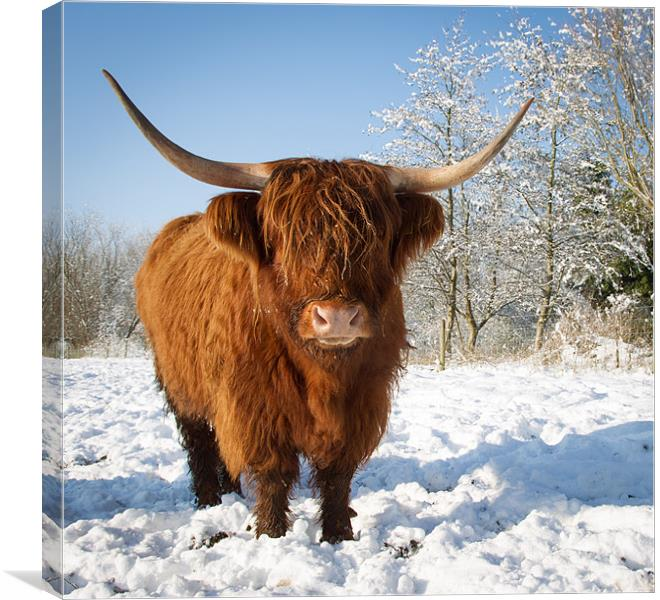 Highland Cow In Snow Canvas Print By Simon Wrigglesworth