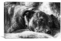 Staffordshire Bull Terrier, Canvas Print