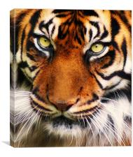 Tiger, Canvas Print