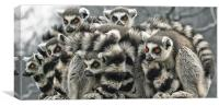 Ring Tailed Lemurs, Canvas Print
