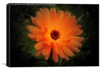 Wild Orange Bloom, Canvas Print