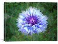 Wild Blue Cornflower, Canvas Print